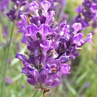 Narrow-leaved Lavender