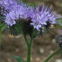 Tansy-leaved Phacelia