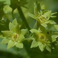 Downy Lady's-mantle