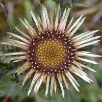 Common Carline Thistle