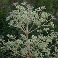 Chinese Angelica-tree