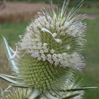Cut-leaved Teasel