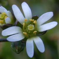 Early Whitlowgrass