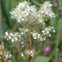 Common Meadowsweet