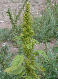 Green Amaranth