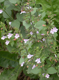Common Calamint