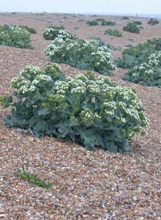 Common Sea Kale