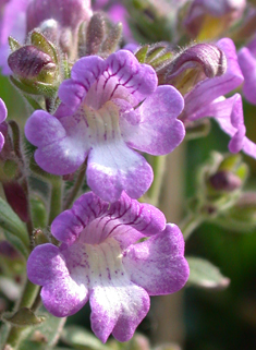 Oregano-leaved Toadflax