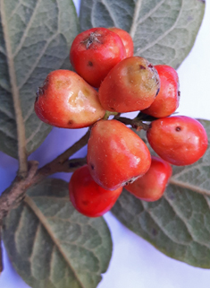 Hollyberry Cotoneaster