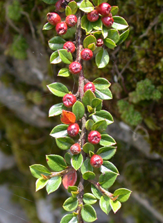 Wall Cotoneaster