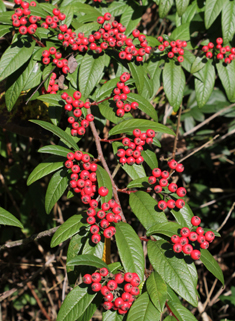 Willow-leaved Cotoneaster