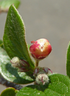 Stern's Cotoneaster