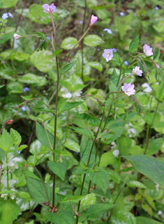 Broad-leaved Willowherb