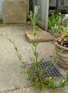 Square-stalked Willowherb