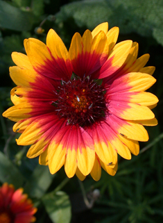 Large Blanket-flower