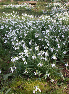 Pleated Snowdrop