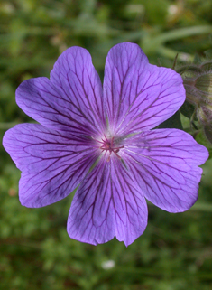 Purple Crane's-bill