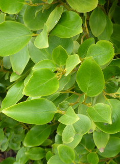New Zealand Broadleaf