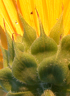 Annual Sunflower