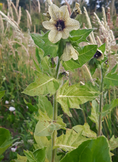 Common Henbane