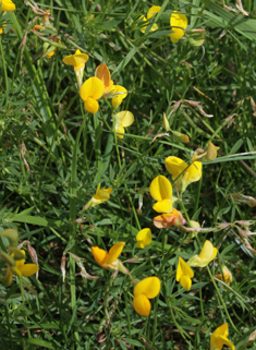 Narrow-leaved Bird's-foot-trefoil