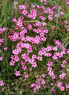 Common Pink-sorrel