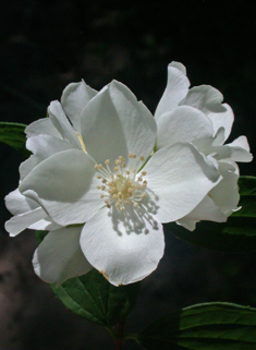 European Mock-orange