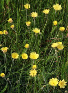 Common Mouse-ear-hawkweed