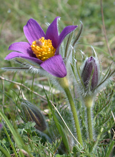 Common Pasqueflower