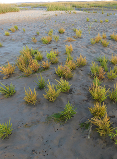 Long-spiked Glasswort