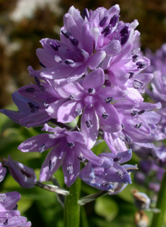 Pyrenean Squill