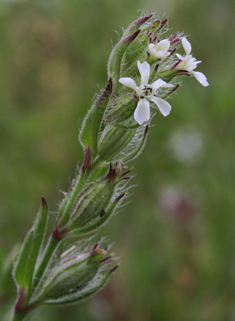 Small-flowered Catchfly
