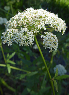 Greater Water-parsnip