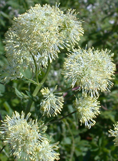 Common Meadow-rue