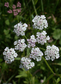Upright Hedge-parsley