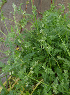 Knotted Hedge-parsley