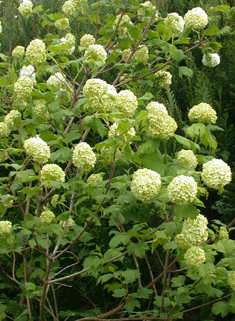 Cultivated Guelder-rose